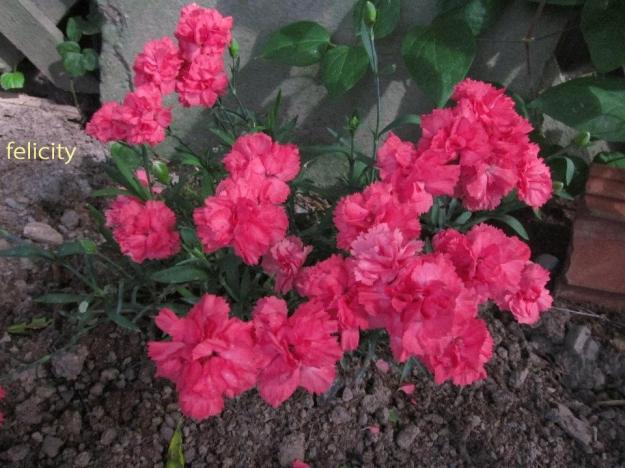 flower5 feli