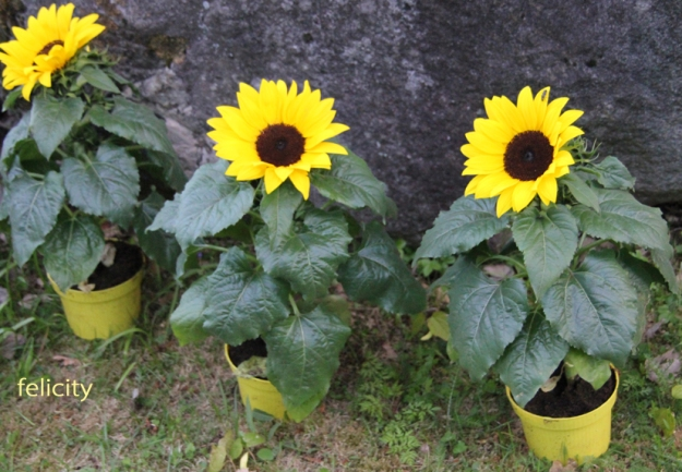 sunflower_feli